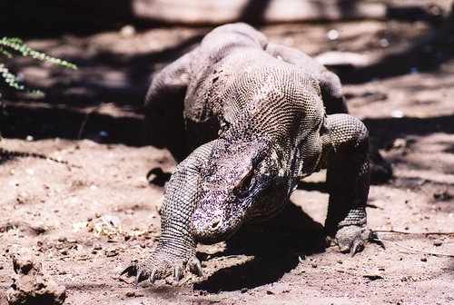 Wild Komodo Dragon On the Prowl (Photo: Jungle_Boy)