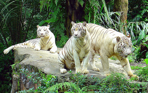 White Tigers, Singapore Zoo (photo: Eustaquio Santimano)