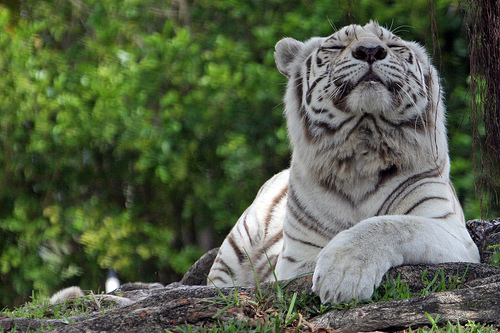 White Tiger with Attitude (photo: tiswango)