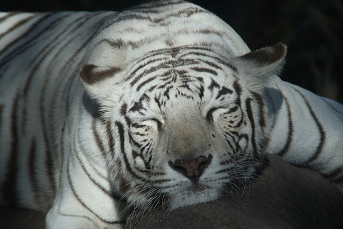 Bengal Tiger / Tigre de Bengala (Panthera Tigris) (photo: Esparta)