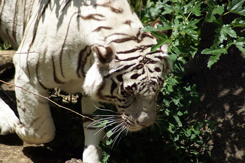 cincinnati zoo white tiger2 (photo: Paul J Everett)
