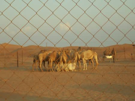 Sheikhs camels - all rights reserved