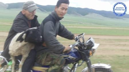 Transport de mouton