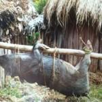 Festschwein