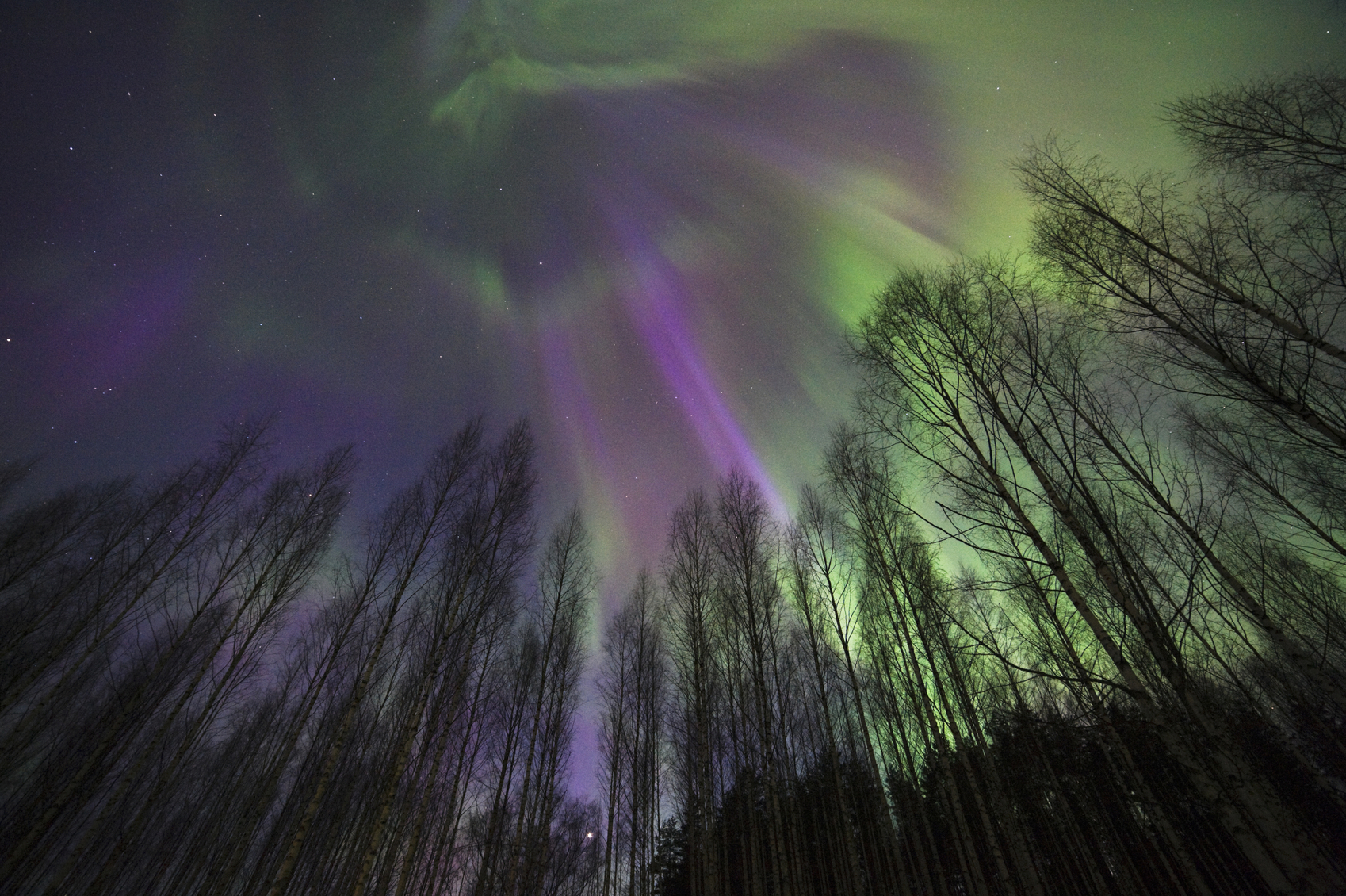 Aurora Borealis above birch forest.